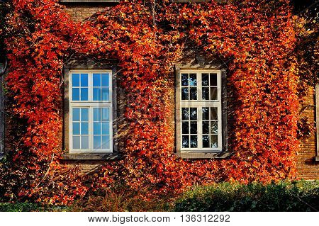 autumn leaves with white two windows on old brick wall facade