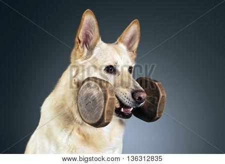 German Shepherd Portrait In A Dark Studio