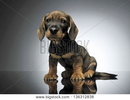 Lovely Puppy Dachshund Sitting In A Shiny Table