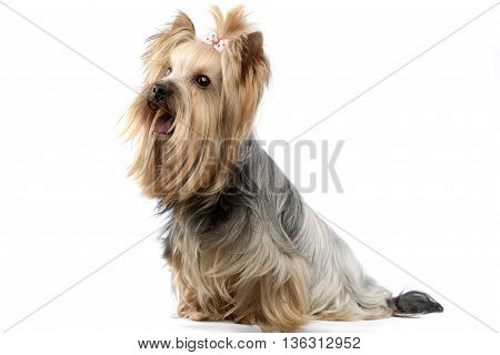 yorkshire terrier in a white photo studio