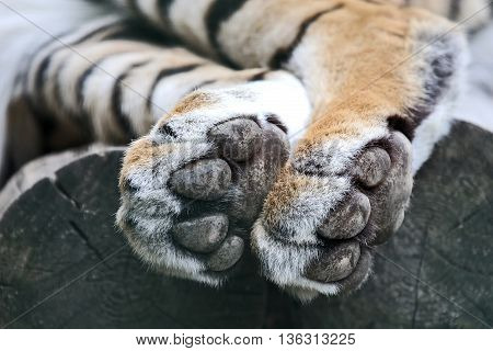 the hind legs of the tiger closeup