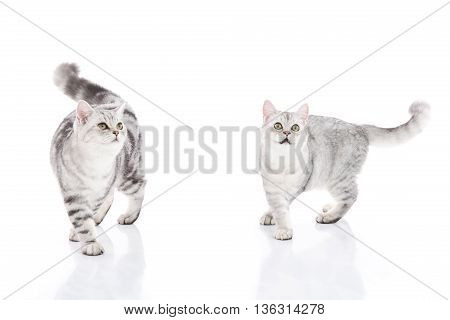 Cute American Shorthair kittens walking and looking up on white background isolated