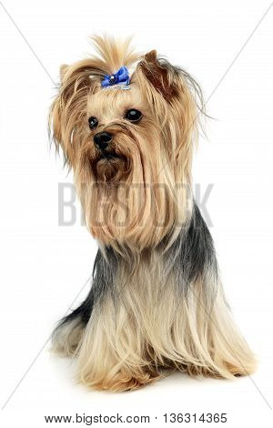 Cute Yorkshire Terrier In A Wehite Studio