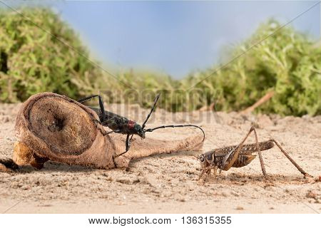closeup Longhorn beetle (Aromia moschata) is sitting on a snag and grasshopper on the sandy soil of semideserts on sky background