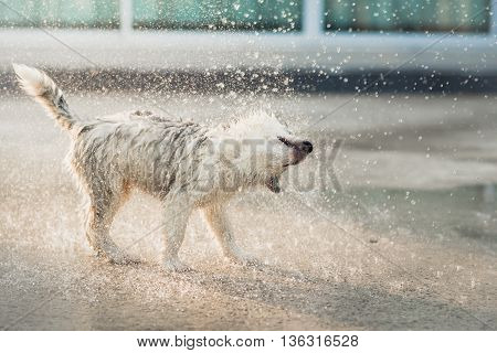 Cute siberian husky puppy shakes the water off its coat