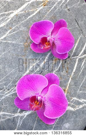 Two Pink orchid with striped stone background