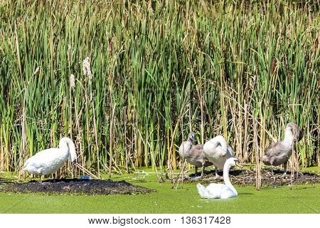 swans at pond