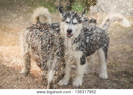 Cute siberian husky puppies playing water from a hose outdoors