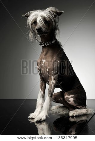 Chinese Crested Dog Sitting In A Photo Studio