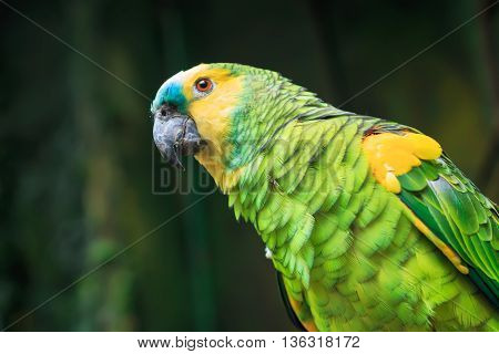Single Blue-Fronted Amazon Parrot (Amazona aestiva) closeup