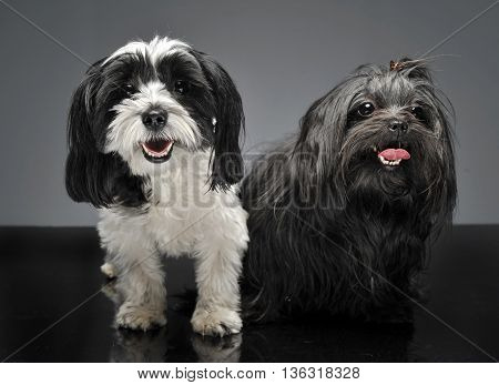 Shi Tzu And A Havanese Are Sitting In Gray Studio And Looks At You
