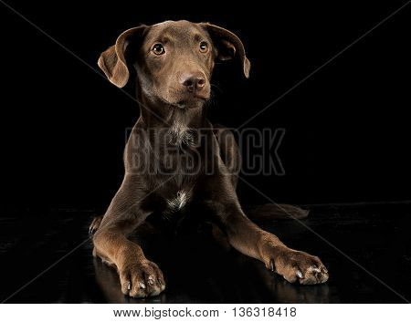 Funny Ears Mixed Breed Brown Dog In Black Studio Background