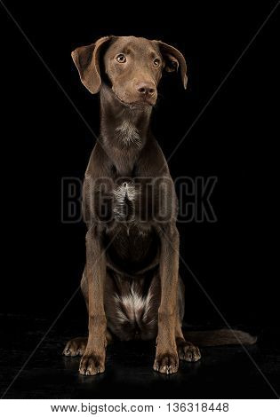 Funny Ears Mixed Breed Brown Dog Sitting In Black Studio Background