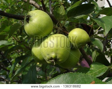 Green unripe apples on a branch .