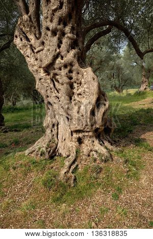 trunk olive tree knotty and twisted,  Montenegro