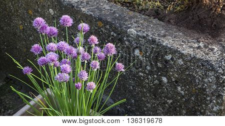 Chives - bunch of purple alium flowers growing in salad box / herb garden container - panorama with text / copy space.
