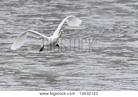 Trumpeter Swan (Cygnus buccinator) Coming In For A Landing