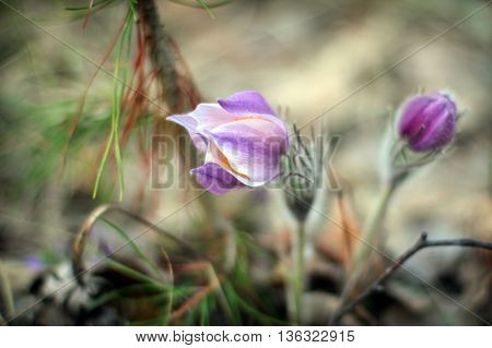 Spring snowdrop flower from the Red Book