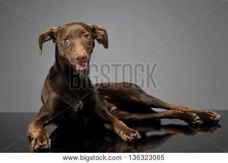 Beautiful Flying Ears Mixed Breed Dog Relaxing In Gray Background