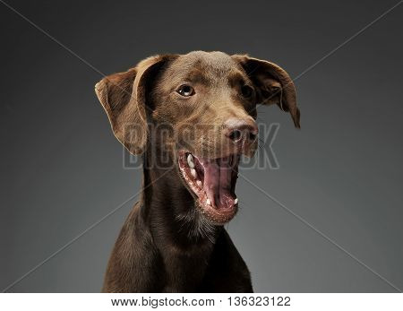 Beautiful Flying Ears Mixed Breed Dog Portrait In Gray Background