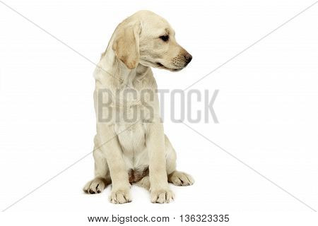 Puppy Labrador Retriever Sitting And Looking Sideways In A White Studio