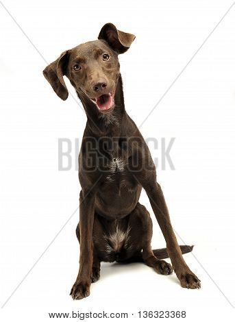 Beautiful Flying Ears Mixed Breed Dog Listen In White Studio