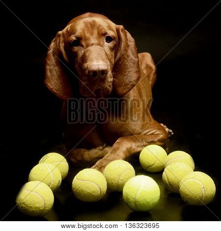 Hungarian Vizsla Portrait With Planty Of Tennis Ball In A Dark Studio