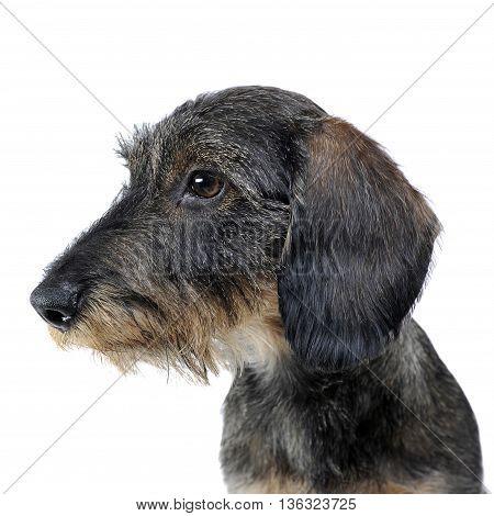 Sweet Puppy Wired Hair Dachshund Portait In Photo Studio