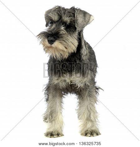 puppy schnauzer standing in a white studio