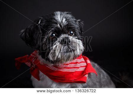 Closeup of a cute dog wearing a stylish pet scarf