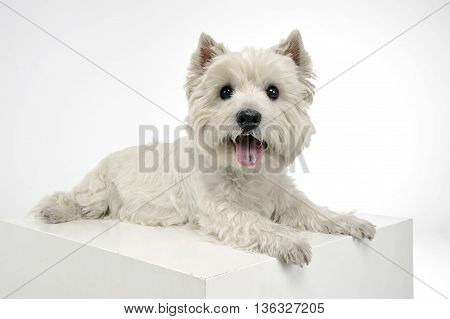 West Highland White Terrier Relaxing In A Big White Cube
