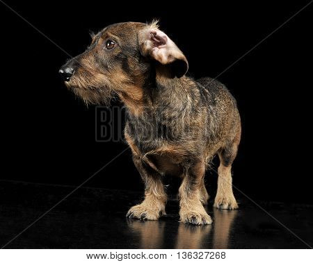Wired Hair Dachshund With Twisted Ears Staying In A Black Photo Studio