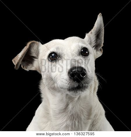 Mixed Breed Funny Ears Dog Portrait In A Dark Photo Studio