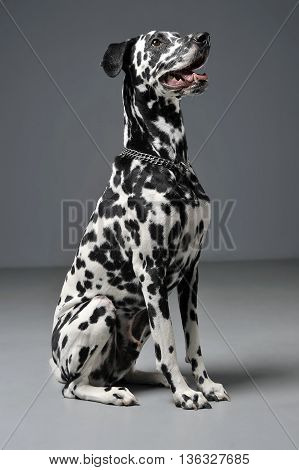 Lovely Dalmatians Sitting In A Gray Studio