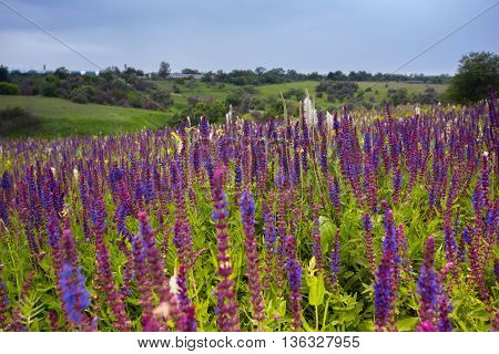 salvia. summer meadow sage with cloudy sky in the background