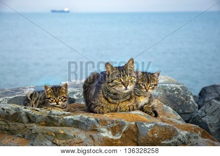 Mother on the sea rocks family of Cats and Kittens. Homeless stray cats.