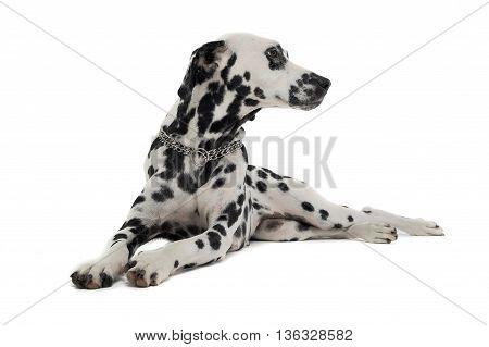 Cute Dalmatians Relaxing In White Background Photo Studio