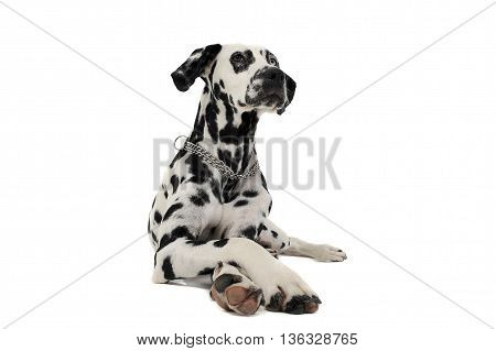 Cute Dalmatians Lying With Crossed Legs In White Background Photo Studio