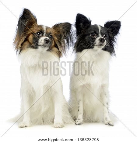 Two Cute Papillons Sitting In White Photo Studio
