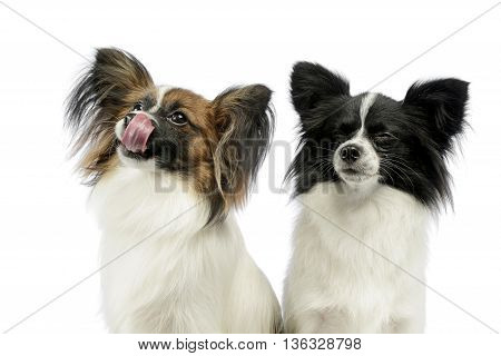 Two Cute Papillons Portrait In White Photo Studio