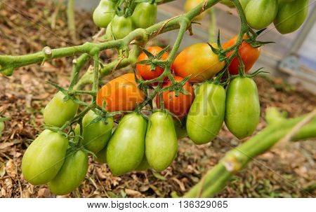 Ripe tomatoes in the garden.Greenhouse Grown Tomatoes.