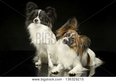 Two Papillons  In The Black Photo Studio Background