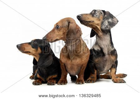 Three Smooth Hair  Dachshund In A White Isolated Background