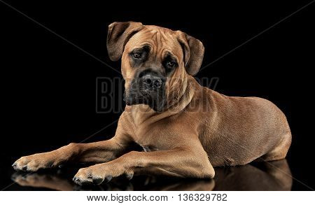 Beautiful Puppy Cane Corso Lying In A Black Photo Background