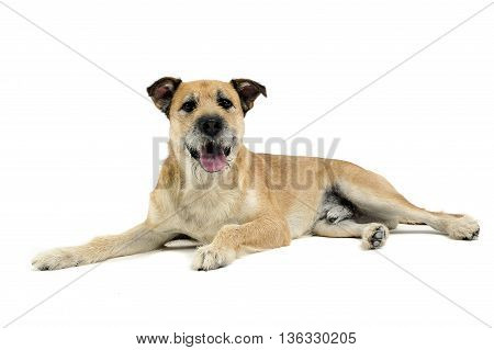 Brown Color Wired Hair Mixed Breed Dog In A White Studio