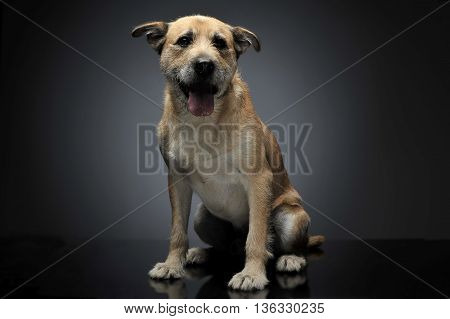 Brown Color Wired Hair Mixed Breed Dog In A Grey Studio