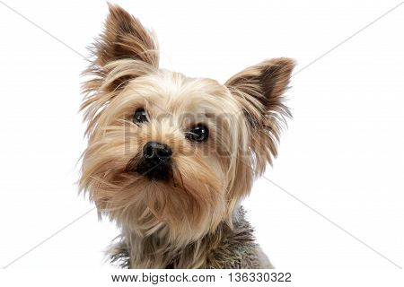 Cute Yorkshire Terrier Portrait In White Studio