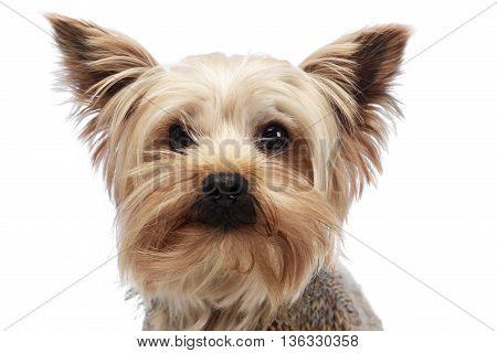 Cute Yorkshire Terrier Portrait In White Studio