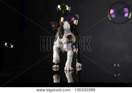 Puppy Boston Terrier Plays With Bubbles In Photo Studio