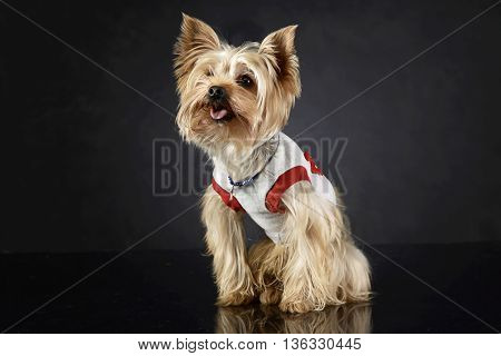Sweet Yorkshire Terrier Sitting And Looking Up In Photo Studio